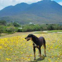 Cocoa Mount Nevis
